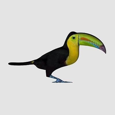 杜鹃鸟 Toucan