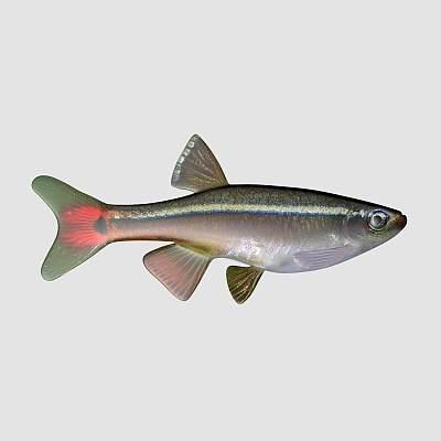 长鳍白云鱼