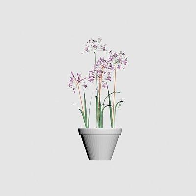 Flower-Agapanthus