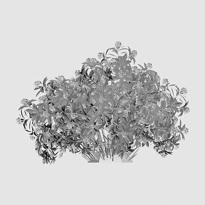 Flower_Daphne_odora_Aureomarginata